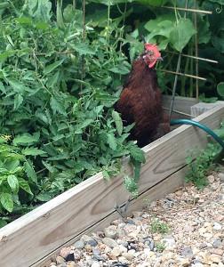 chicken Jenny