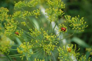 ladybug on dill plant